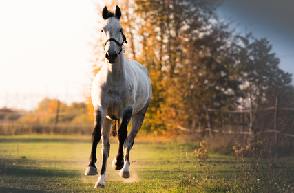 Beautiful arabian horse run gallop in flower field